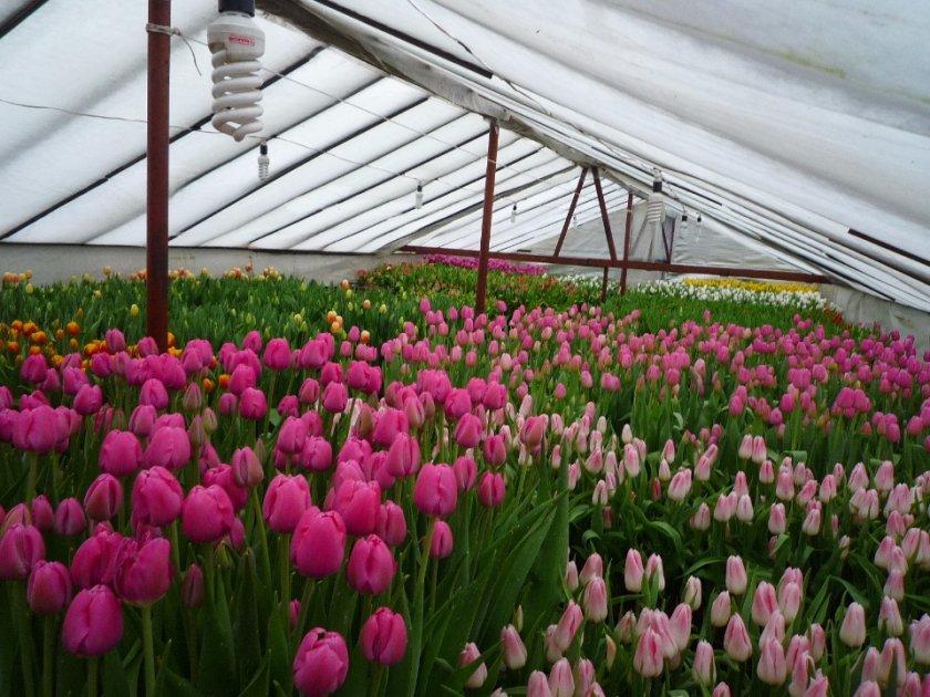 Купить цветы в минске в парниках тюльпаны, купить салон красоты