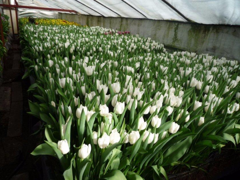 Какие цветы можно выращивать к 8 марта в теплице?