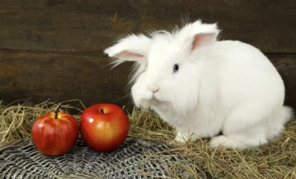 Декоративные кролики – уход и содержание в домашних условиях