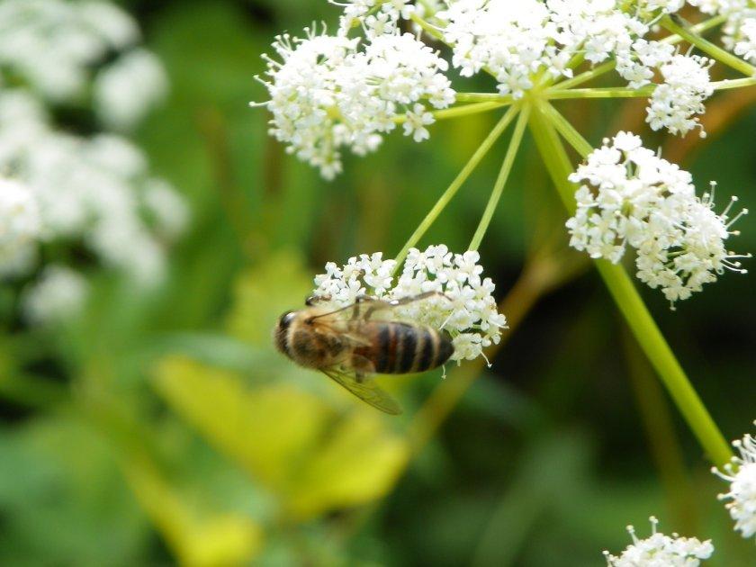Пчелосбор на дягиле