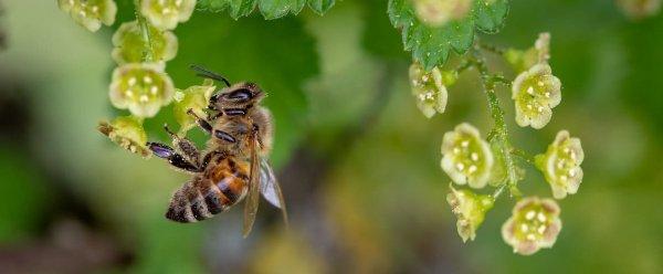 Сколько живет пчела (рабочая медоносная, трутень, матка): в ульях, в природе, после укуса