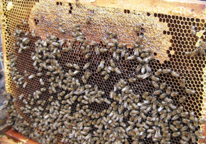Нозематоза пчёл