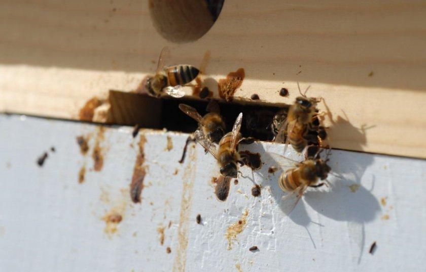 Нозематоз пчёл