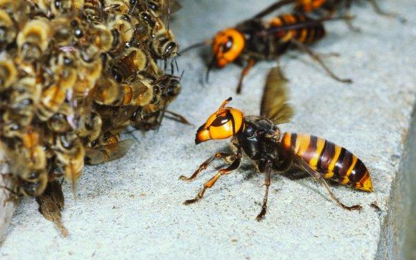 Где зимуют осы и шершни в природе: под крышей, чем питаются, что делают, спят или нет