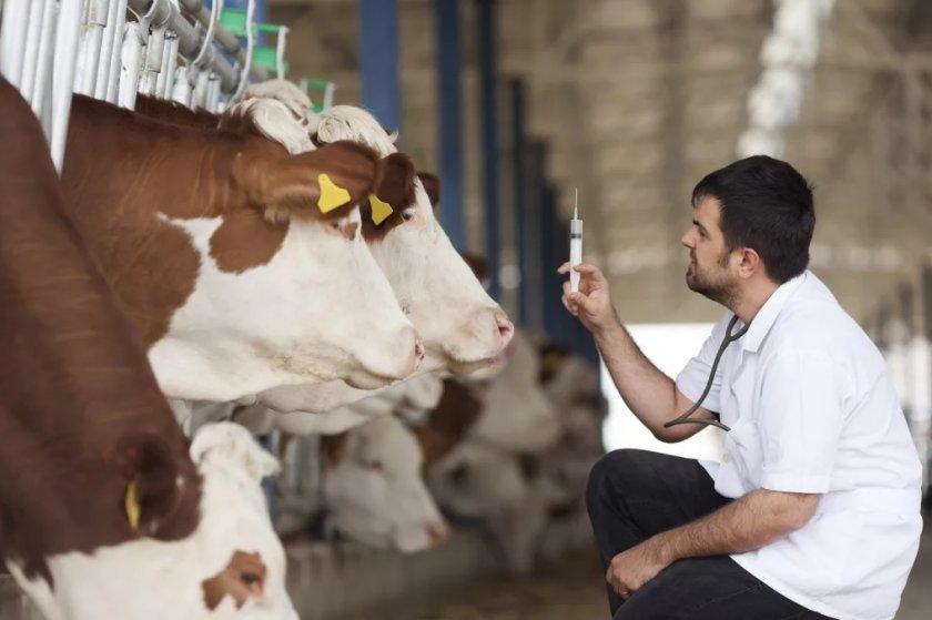 Вакцинация коров