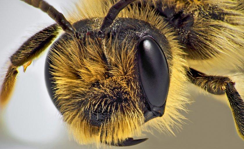 Фасеточные глаза пчёлы