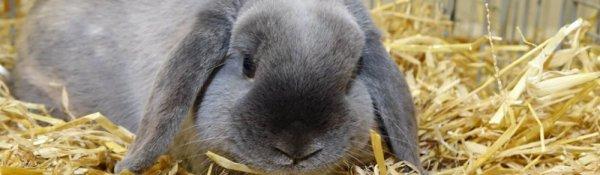 Кролики породы Баран — виды, характеристики и разведение