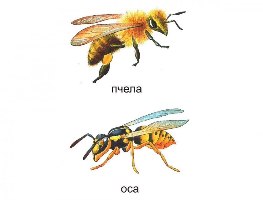 Внешние различия пчелы и осы
