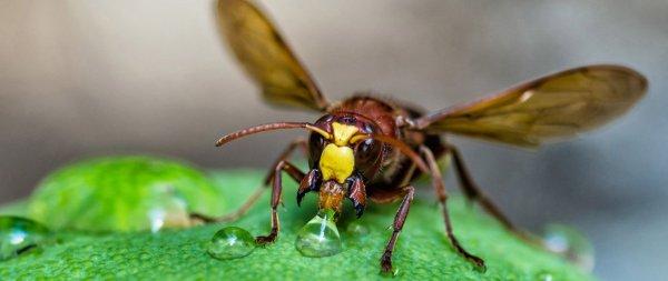 Одиночные осы нападают на