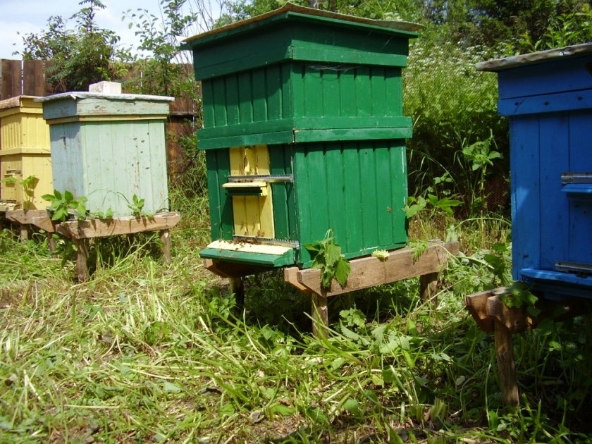 Особенности содержания пчёл в улье Дадан