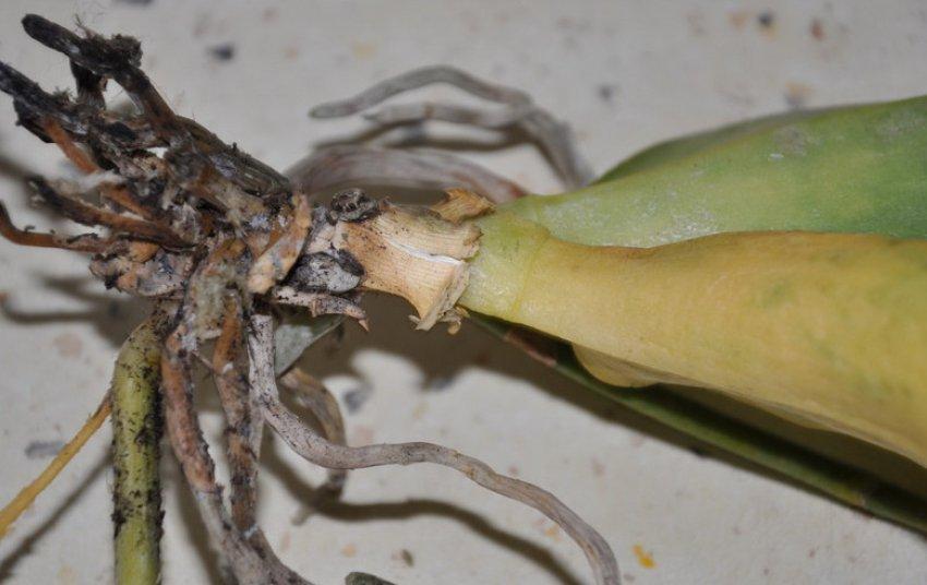 Луковый корневой клещ на луке