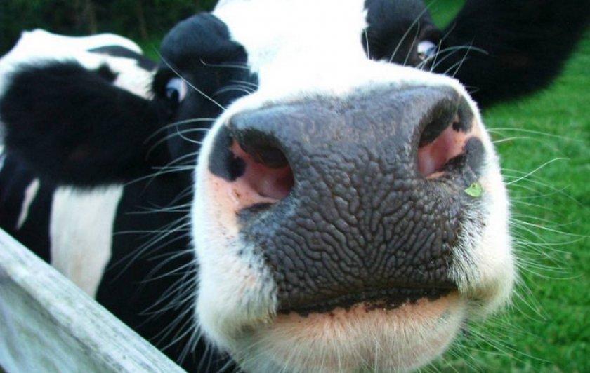 Отравление коровы