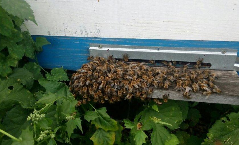 Пчёлы выгоняют трутней
