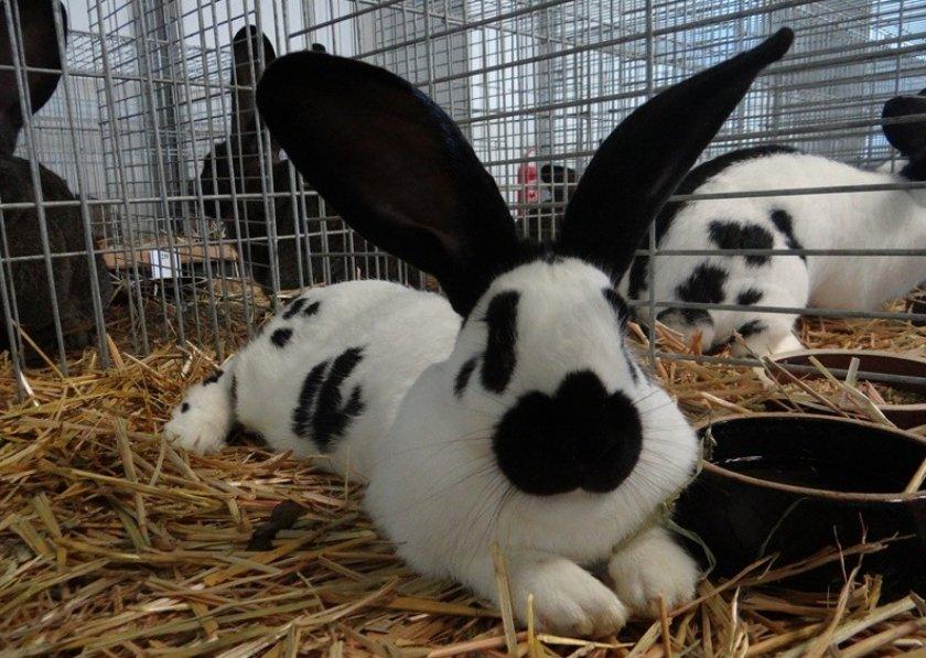 Кролик породы строкач