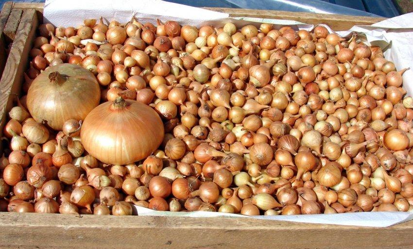 Как подготовить луковицы к хранению