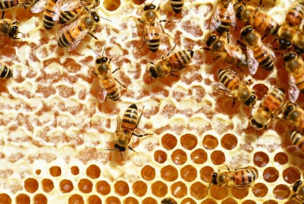 Как пчелы делают мед и зачем, видео