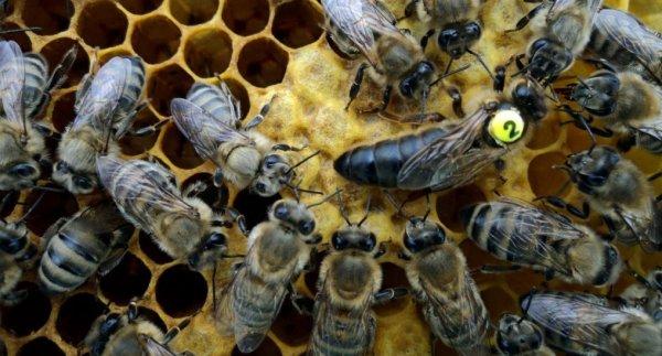 Что такое Карника: характеристика и описание породы пчёл, разновидности, особенности содержания, преимущества и недостатки, видео, фото