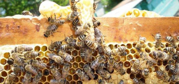 Разведение пчел для начинающих с чего начать советы пчеловодов видео