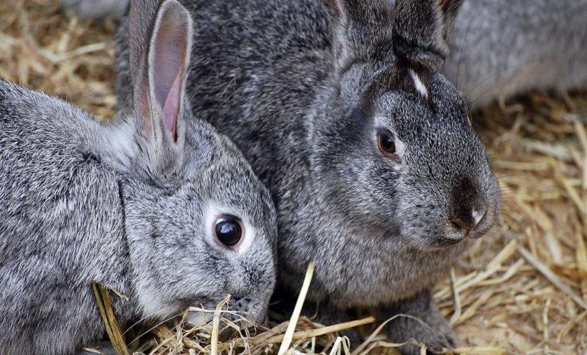 Взрослые кролики