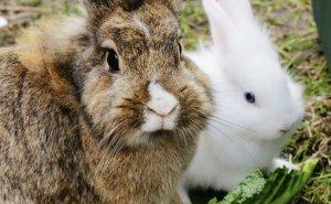 Сколько длится беременность у кролика: как определить, что крольчиха беременна