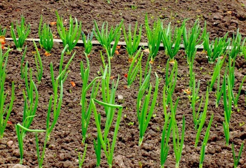 Выбор участка для посева лука