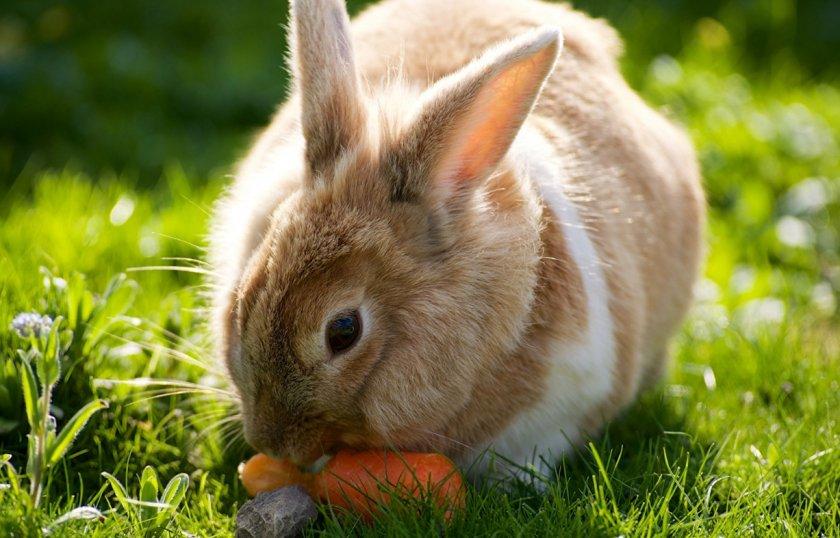 Кролик кушает