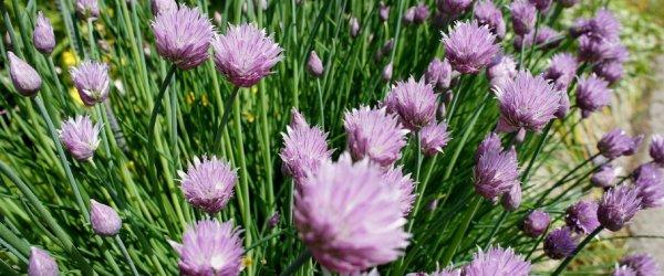 Шнитт лук: выращивание из семян на подоконнике, уход, фото