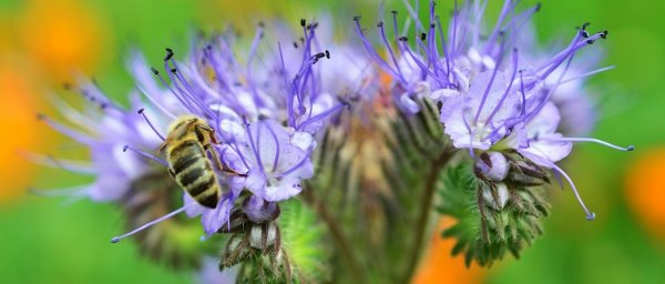 Цветы привлекающие пчл растения-медоносы для сада