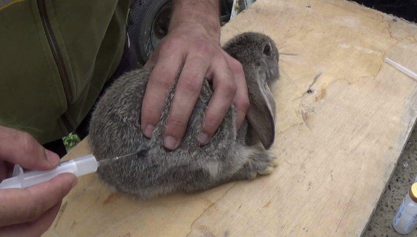Инъекция кролику