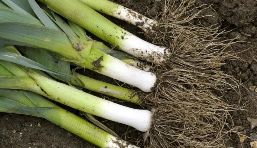 Сбор урожая лука-порей