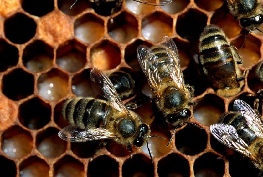 Пчёлы-работницы