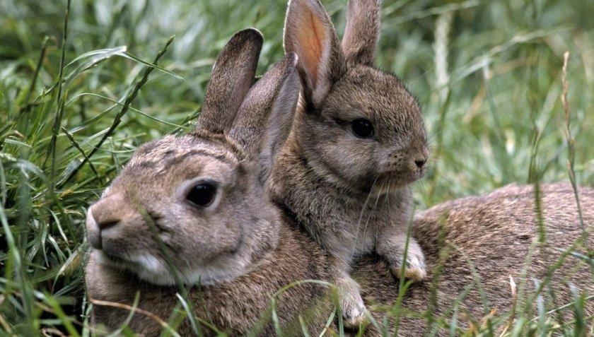 Крольчиха и детёныш