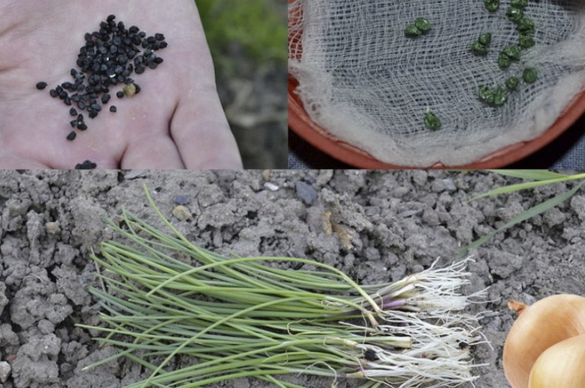 Посев семян лука