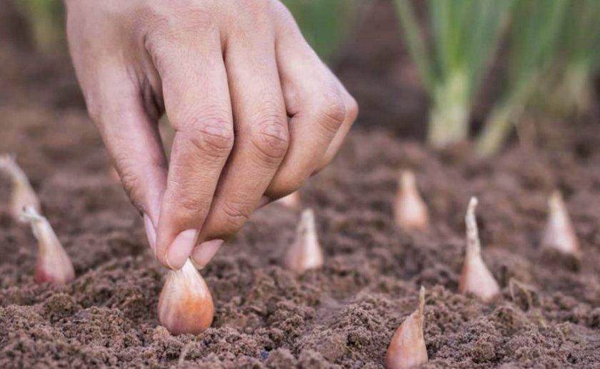 Посев лука в грунт