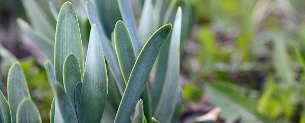 Лук-слизун полезные свойства выращивание из семян посадка и уход сорта рецепты блюд описание польза и вред противопоказания