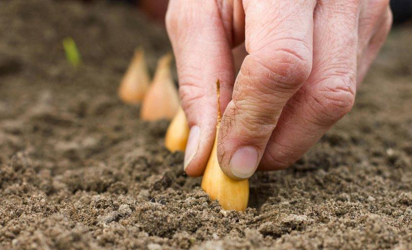 Почему обязательно стоит сажать подзимний лук
