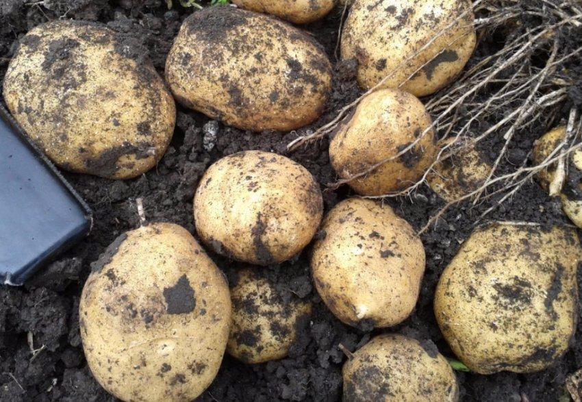 сорта картофеля фото описание очень разваристый известны новые подробности