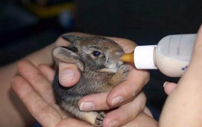 Выкармлевание крольчат без крольчихи