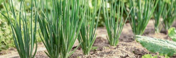 Какой лук посадить под зиму на зелень: ТОП лучших сортов, особенности посадки и выращивания