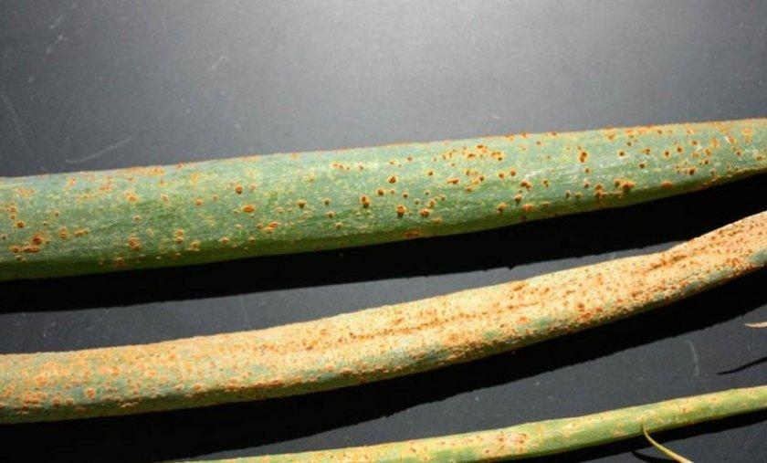 Посадка лука на перо под зиму в открытый грунт