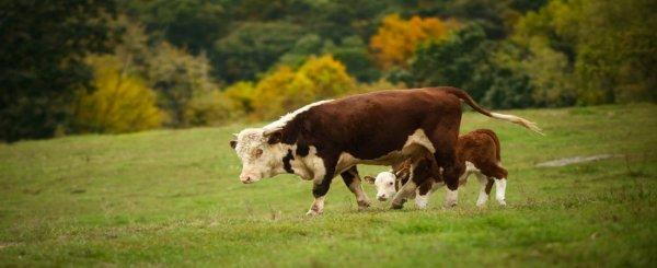 Как проявляется коровье бешенство у людей и у животных?