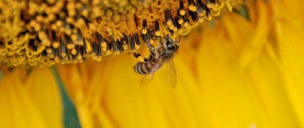 Почему осенью пчелы покидают улей и улетают{q}