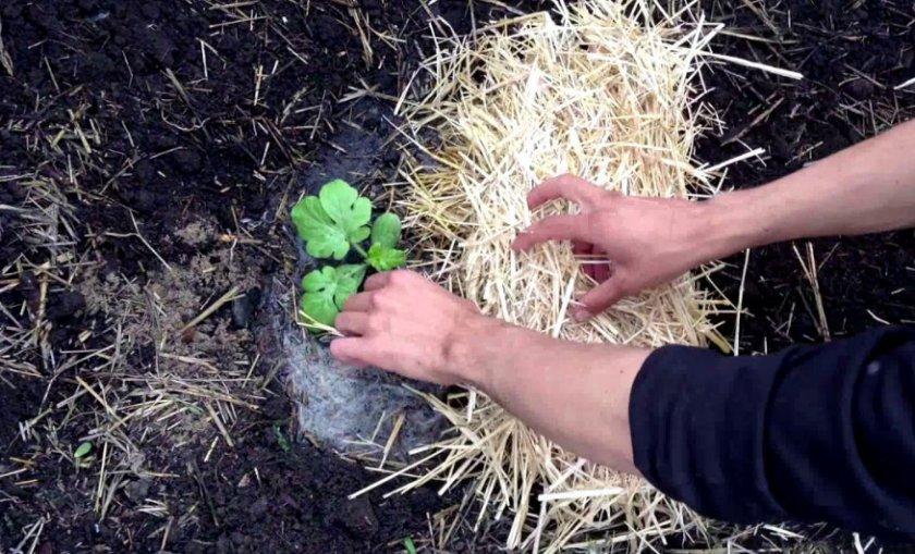Высадка рассады арбузов