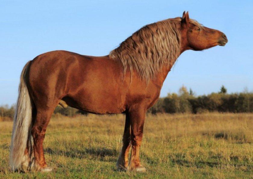 Лошадь советский тяжеловоз