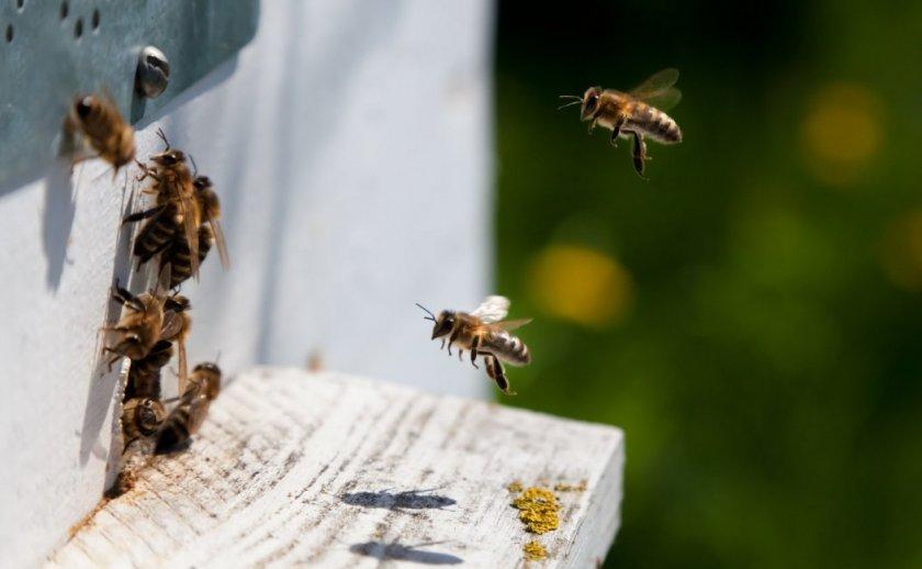 Почему пчёлы покидают улей