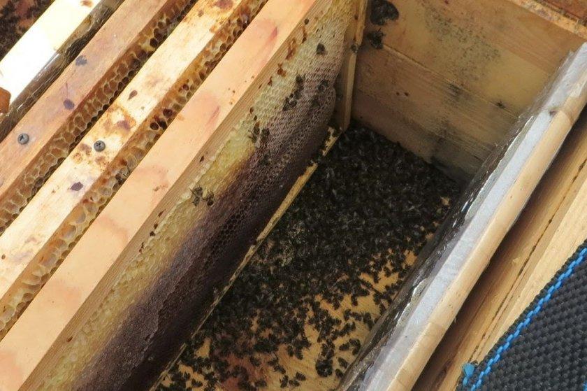 Осмотр пчёл