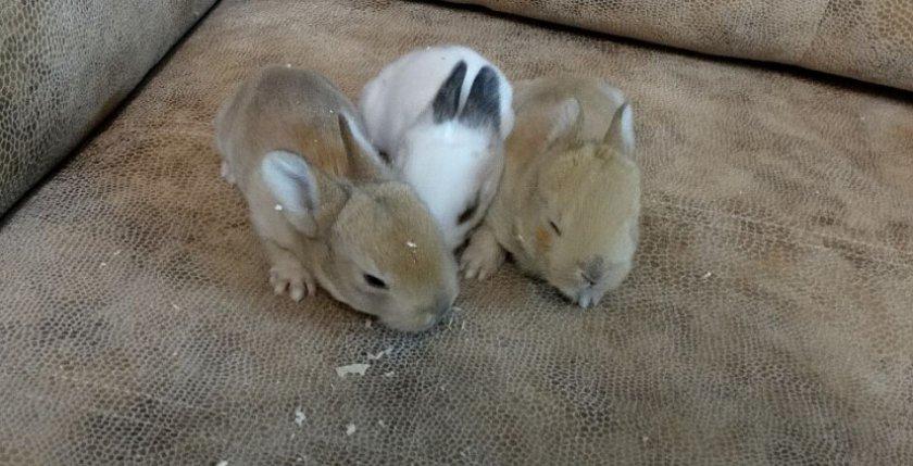 2 - недельные крольчата