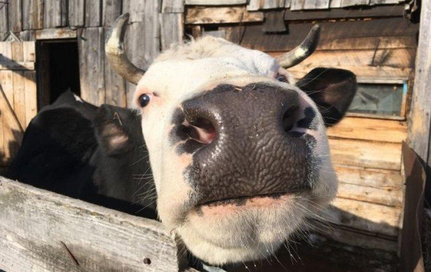 Бешенство у коров