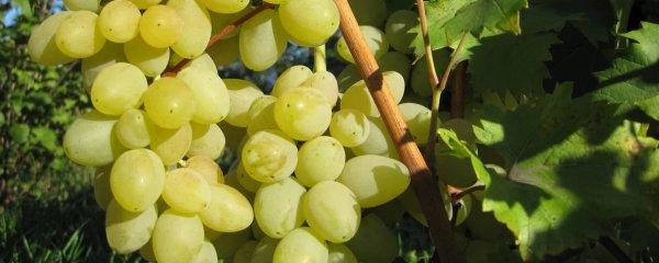 Виноград мускат ?: мускатные сорта винограда, мускат летний виноград, фото описание ? Все о посадке и выращивании