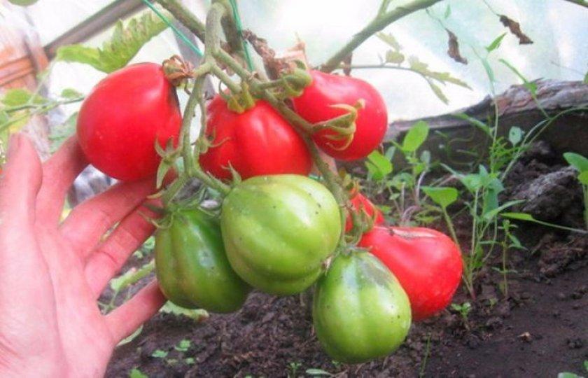 Особенности выращивания сорта помидоров